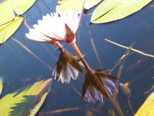 ボツワナモコロトリップ花 (2)