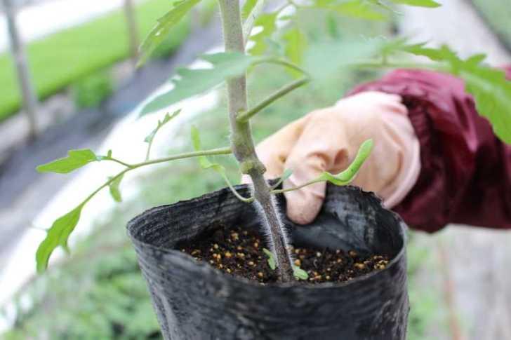 [桃太郎トマトの育て方]接ぎ木苗の植え方 (3)