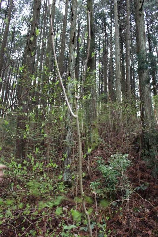 [山菜取り]タラの芽より「コシアブラ」のてんぷらの方がおいしい!愛知県では「灯台の芽」と呼ばれているよ (2)
