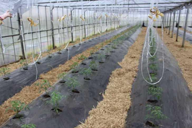 [桃太郎トマトの育て方]接ぎ木苗の植え方 (14)