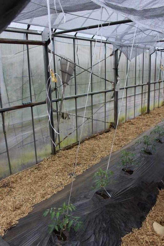 [桃太郎トマトの育て方]接ぎ木苗の植え方 (8)