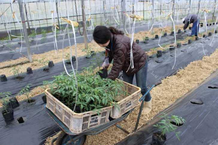 [桃太郎トマトの育て方]接ぎ木苗の植え方 (10)