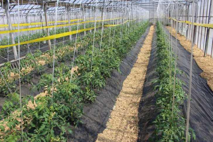 [桃太郎トマトの育て方]防虫のためのラノーテープの使用方法 (6)
