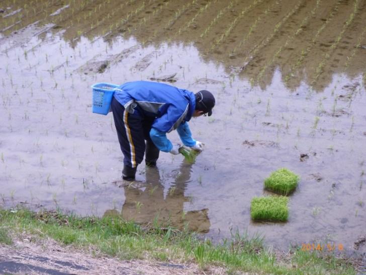 機械を使った田植えの後におこなう補植作業をしてきたよ (5)