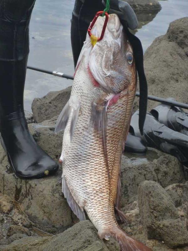 福井で魚突き!80cm弱の真鯛と40cm強の石鯛とキジハタとったどー!! (6)