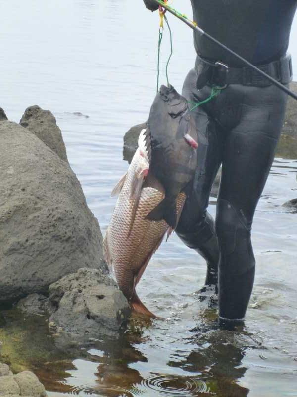 福井で魚突き!80cm弱の真鯛と40cm強の石鯛とキジハタとったどー!! (5)