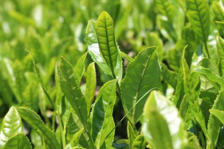 有機栽培されたお茶を手摘みしてきたよ!【愛知県新城市鈴木製茶】 (4)
