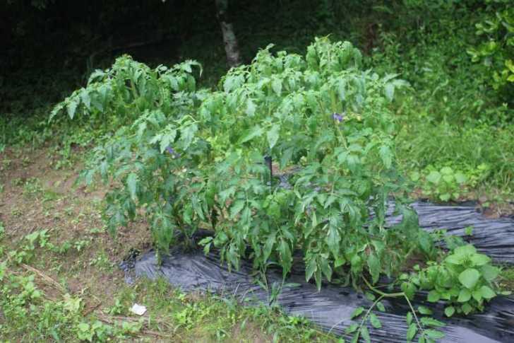 【珍しい野菜栽培】11.黒トマトとハロウィンカボチャは順調、UFOズッキーニが実をつけたよ (1)
