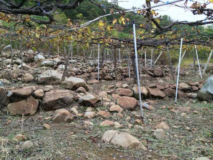 ワインの王様のぶどう品種「ピノ・ノワール」を使う山梨のワイナリーを見学してきたよ! (1)