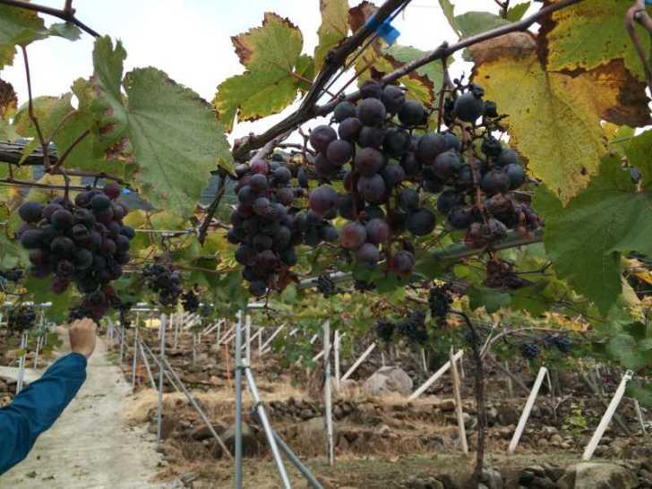 ワインの王様のぶどう品種「ピノ・ノワール」を使う山梨のワイナリーを見学してきたよ! (2)