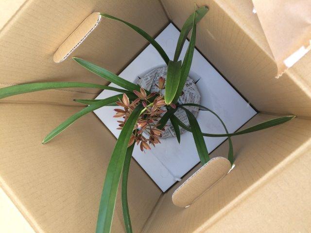 自然養蜂の日本みつばち誘引のためにキンリョウヘンを置いてみた! (1)