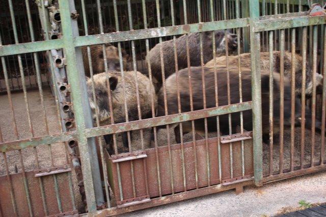 イノシシを飼育している山田さんと、解体した猪のモツ祭りでヒャッハー!【愛知県新城市】 (1)