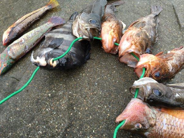 今年も福井で魚突き!キジハタとスズキとカサゴ他いろいろ獲ったど~!!! (10)
