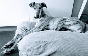 greyhounds in nood charlotje