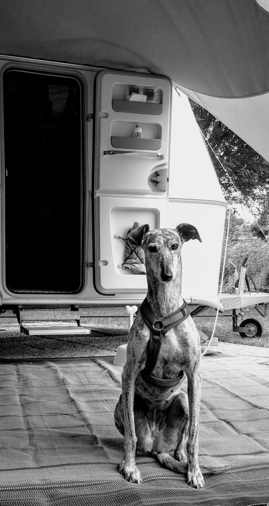 Charlotje fier als een gieter bij de caravan - kamperen met 3 honden