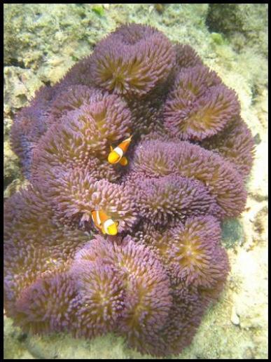 Nemo Clown Fish