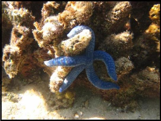 Blue Sea Star
