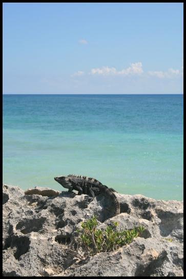Iguane on the rock