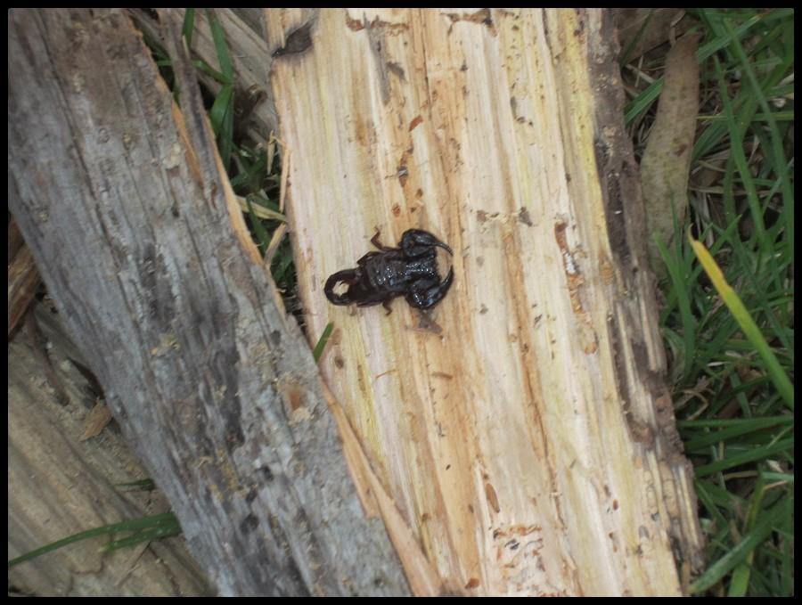 Scorpion Colombie