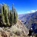 Cactus in Canyon de Colca