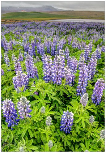 Lupine Field in HDR