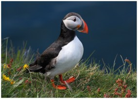 Puffin on Papey Island