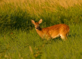 Fawn in Morning Light