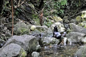 The seal pup season is coming to an end. Thousands of pups wander up Ohau Stream in the winter.