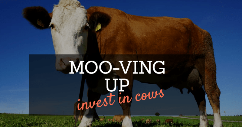 Moving up in life by investing in cows
