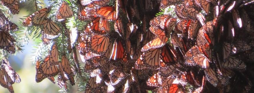 メキシコに蝶を見に行こう!
