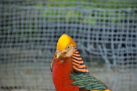 掛川花鳥園 金鶏