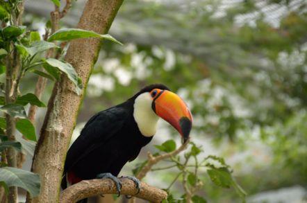 掛川花鳥園 オニオオハシ