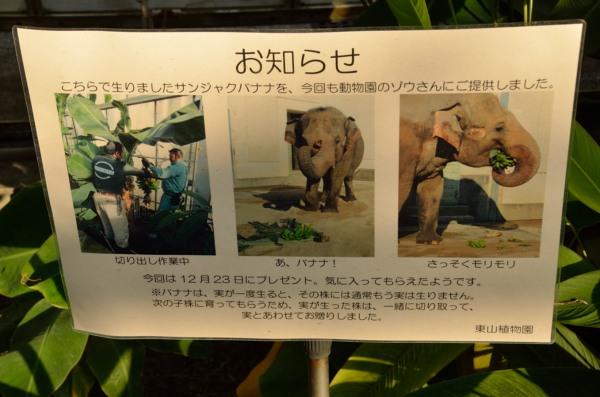 東山動植物園 バナナ