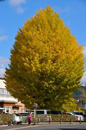 旧 足助町役場 銀杏の木