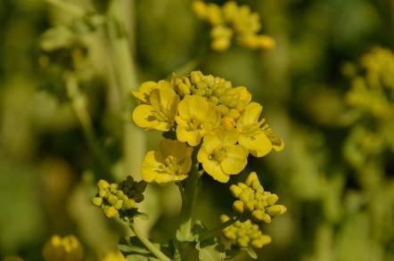 田原市 加治の菜の花畑
