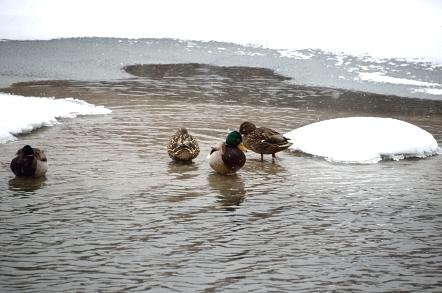 大正池 鴨