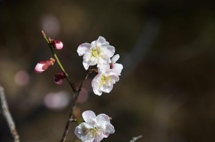 高遠城址公園 梅の花