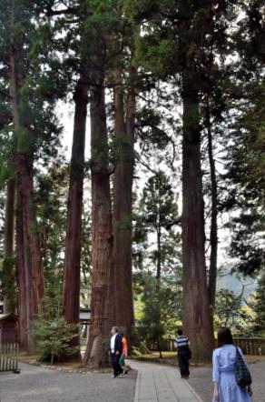 白山比咩神社(しらやまひめじんじゃ) 杉の木