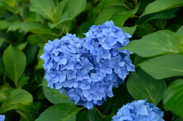 三室戸寺 紫陽花 ハートの形