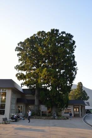 天女杉伝説の杉の木