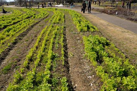 国営木曽三川公園 フラワーパーク江南 菜の花畑