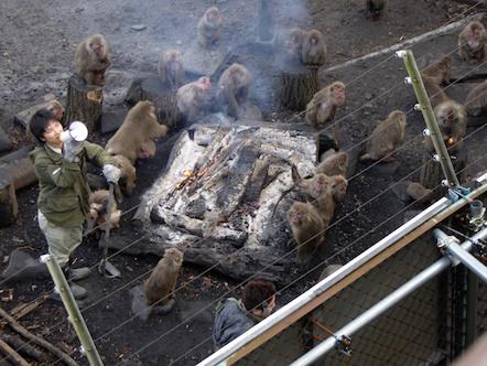 日本モンキーセンター たき火にあたるサル