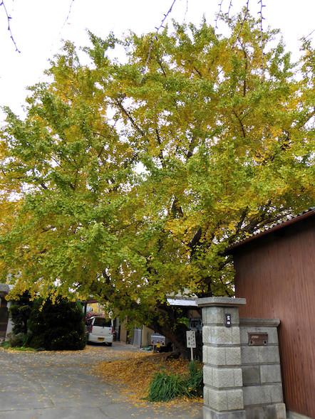 そぶえイチョウ黄葉まつり 山崎祐専寺会場 イチョウの原木