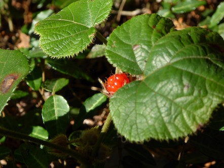 ベニバナイチゴ