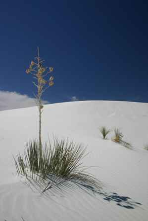 Sopatree Yucca, White Sands National Monument, New Mexico