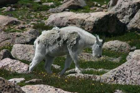 Mountain Goats Atop Mt. Evans, Colorado