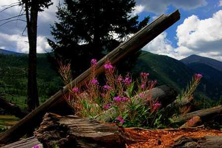 Wildflowers, Rocky Mountain National Park (RMNP)