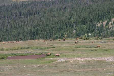 Elk, Rocky Mountain National Park (RMNP)