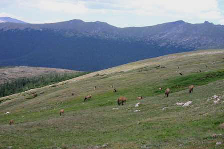 Elk, Medicine Bow Curve, Rocky Mountain National Park (RMNP)