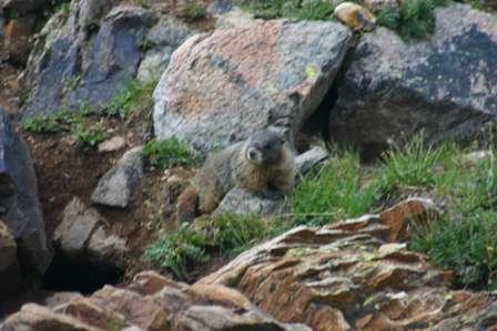 marmots, san juan mountains, colorado